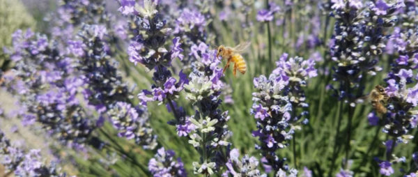 CASCADE LAVENDER FARM • June 24 (10am-2pm) • June 25 (11am-3pm)